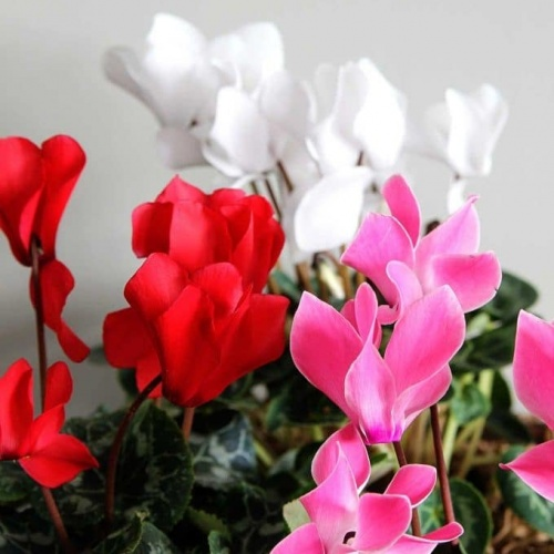 Indoor Cyclamen