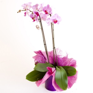 Beautiful Phalaenopsis Orchid Plant in Ceramic Pot Cover Reference: Pl1